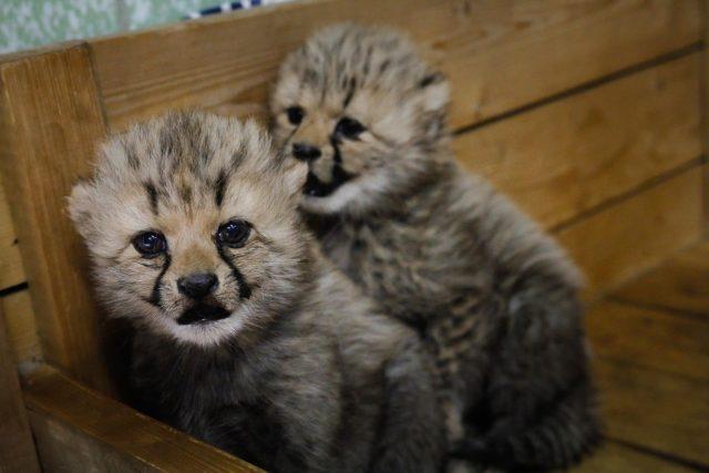 Česko - francouzská gepardí rodina se v ZOO Dvůr Králové nad Labem rozrostla o dvě mláďata