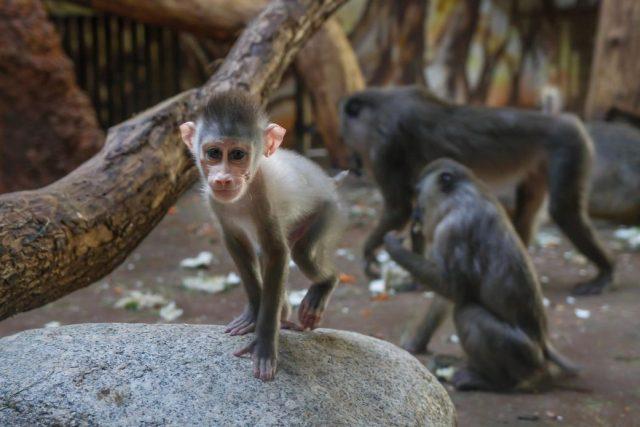 Dvorské zoo se chov drilů černolících mimořádně daří