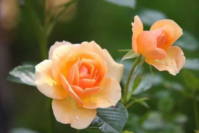 růže | foto:  pixabay.com