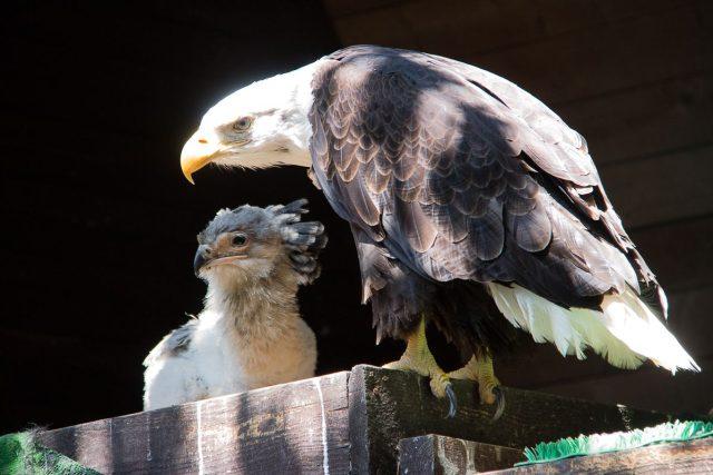 Adoptivní orlí rodiče ze ZOO Liberec se starají o mládě hadilova písaře z dvorské zahrady