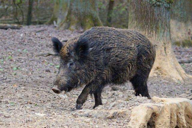 Největší zájem je o kančí a srnčí maso   foto: CC0 Public domain
