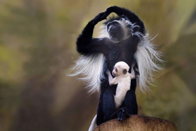Guerézy v Safari Parku Dvůr králové