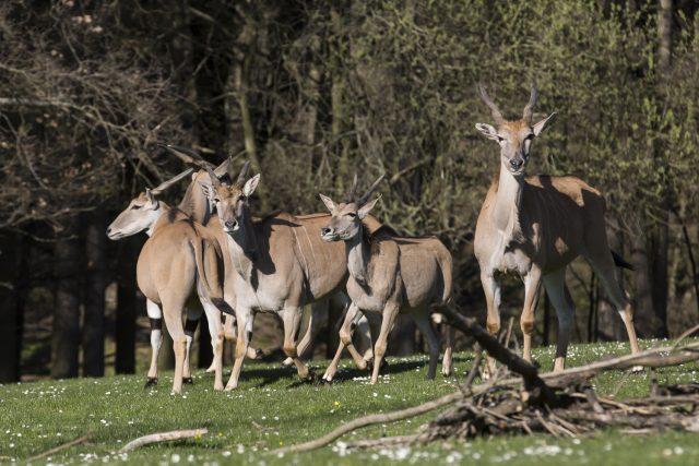 K vůbec nejtěžším a největším zvířatům patří antilopa losí