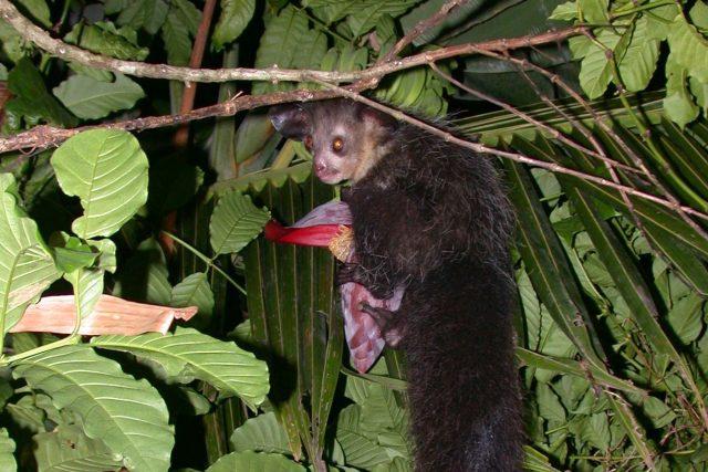 Ksukolové žijí na Madagaskaru