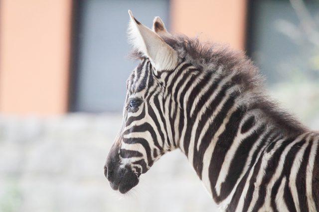 Safari Park Dvůr Králové chová kromě zeber kapských všechny druhy a poddruhy zeber