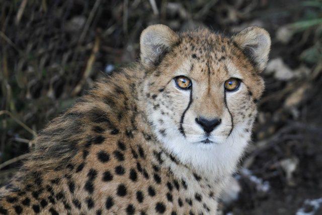Stěhování gepardů v Safari Parku Dvůr Králové