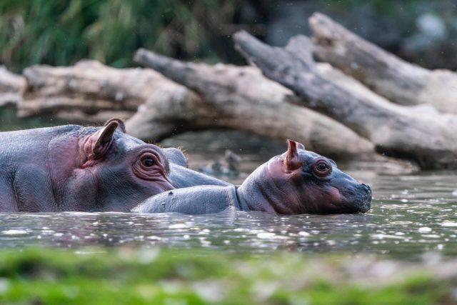 Mládě hrocha s matkou v Safari Parku Dvůr Králové