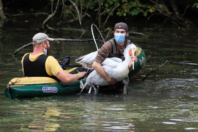 Poprvé v historii v rouškách proběhl v Safari Parku Dvůr Králové odchyt pelikánů