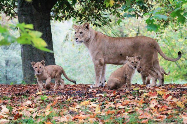 Lví smečka v Safari Parku Dvůr Králové nad Labem | foto: Simona Jiřičková