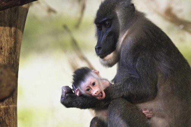 Safari Park Dvůr Králové se jako jediná zoo v České republice a na Slovensku úspěšně věnuje chovu drilů černolících