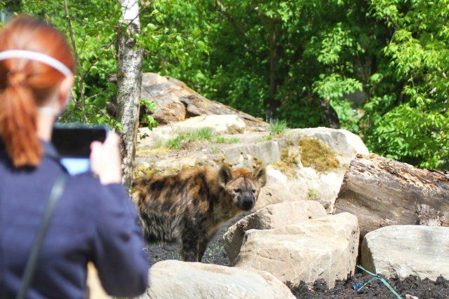 Hyeny skvrnité Barak a Spoty si v Safari Parku Dvůr Králové užívají nový výběh