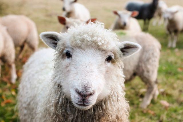 Ve dne v noci chrání farmáři na Broumovsku svá stáda ovcí před vlky  (ilustrační foto) | foto: Fotobanka Pixabay