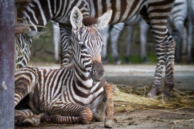 Vzácné mládě zebry bezhřívé Priscilla v Safari Parku Dvůr Králové