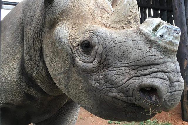 Pět kriticky ohrožených nosorožců černých bylo úspěšně přepraveno ze Safari Parku ve Dvoře Králové do národního parku Akagera ve Rwandě   foto: Jan Stejskal -  Safari Park Dvůr Králové