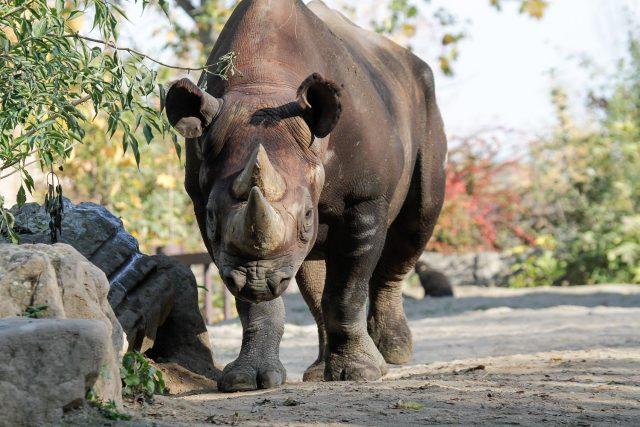 Manny v roce 2018 - Safari Park Dvůr Králové
