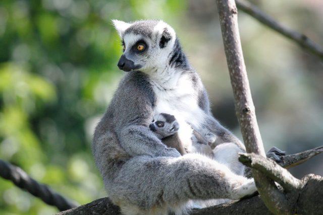 Mládě lemurů   foto: Simona Jiřičková