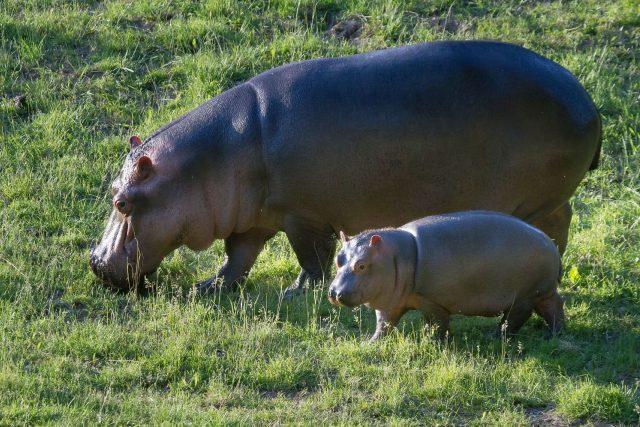 Hroši i s mládětem jsou už k vidění v letním výběhu Safari Parku Dvůr Králové