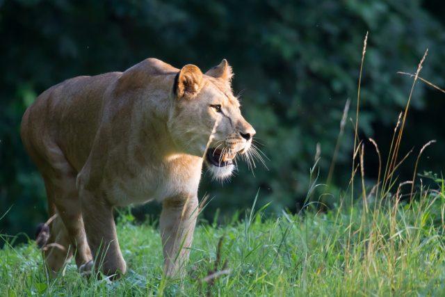Lvice Khalila v Safari Parku Dvůr Králové