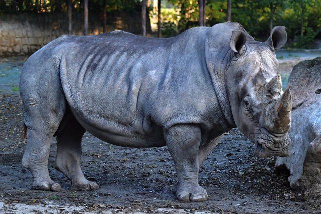 Nosorožec bílý Kusini | foto: Kateřina Lochovská