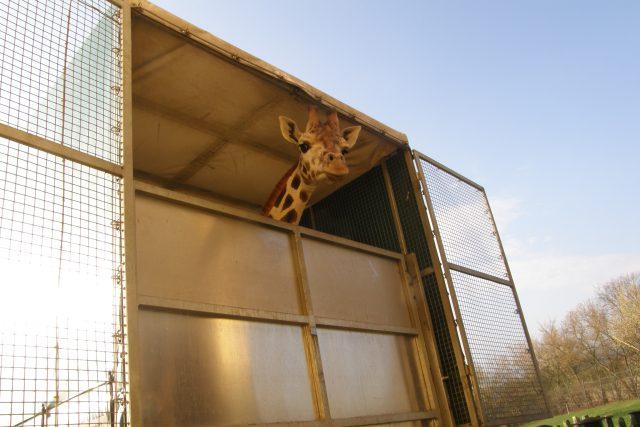 Žirafy z Ústi na cestě do Poznaně 2012 | foto: archiv Zdeňka Bárty / Safari Park Dvůr Králové