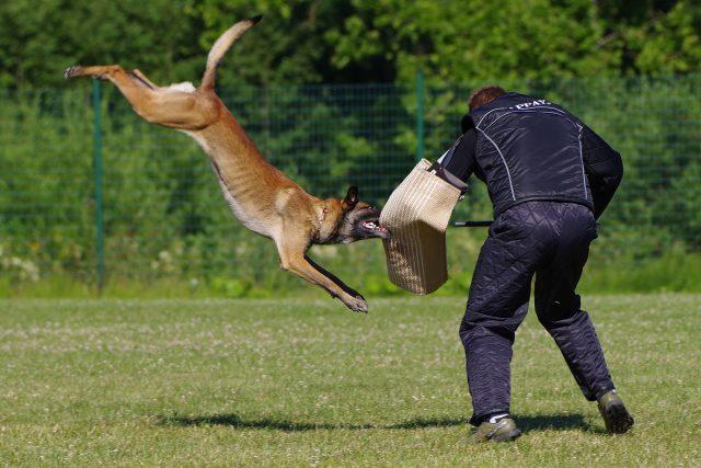 Belgický ovčák malinois při výcviku | foto: Archiv kynologie Policie ČR