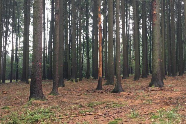Část lesů patřícím obci Všestary na Hradecku okupuje a likviduje kůrovec