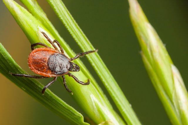 Klíšťata v přírodě většinou lezou v trávě | foto: Fotobanka Profimedia
