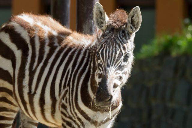 Pro zebry bezhřívé je typické, že hřívu ztrácejí v průběhu dospívání. Také u Priscilly je zatím hříva dobře vidět a řídnout začne zhruba ve dvou až třech letech