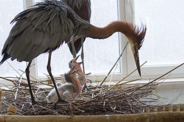 Volavka pečuje o mláďata marabua afrického v Safari Parku Dvůr Králové