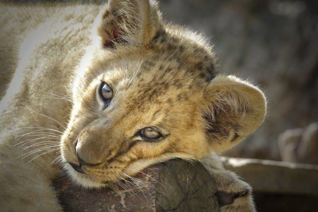 Nově sestavená lví smečka v Safari Parku Dvůr Králové
