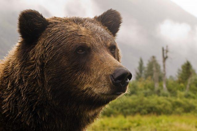 Grizly - medvěd