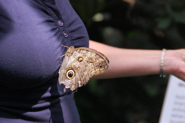 Motýl se usadil na ženských ňadrech (ilustrační foto)