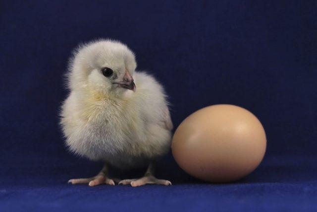kuře,  kuřátko,  vejce,  vajíčko   foto: Unsplash,  CC0 1.0