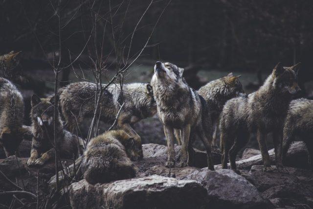 Ochranáři z Hnutí Duha mapovali v minulých měsících pohyb vlků na Broumovsku  (ilustrační foto) | foto: Unsplash,  CC0 1.0