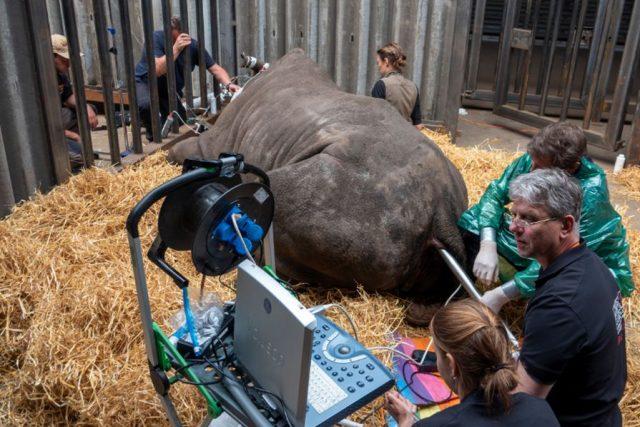 Mezinárodnímu týmu vědců se podařilo v německém Serengeti Parku Hodenhagen odebrat samici nosorožce bílého jižního 12 vajíček