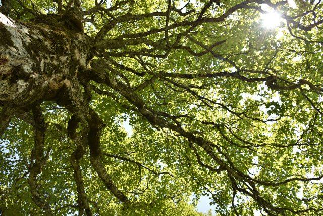 Javor klen je mohutný a krásný strom | foto: Fotobanka Pixabay