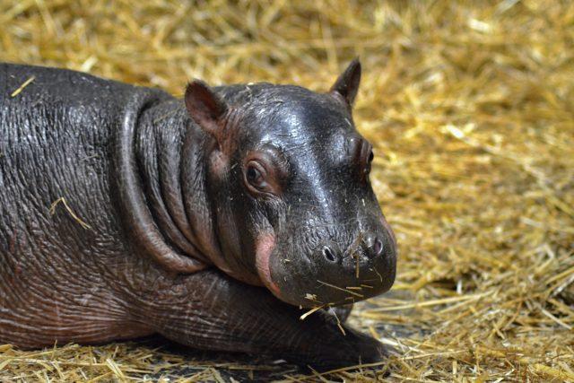Safari Park Dvůr Králové hlásí přírůstek u hrochů