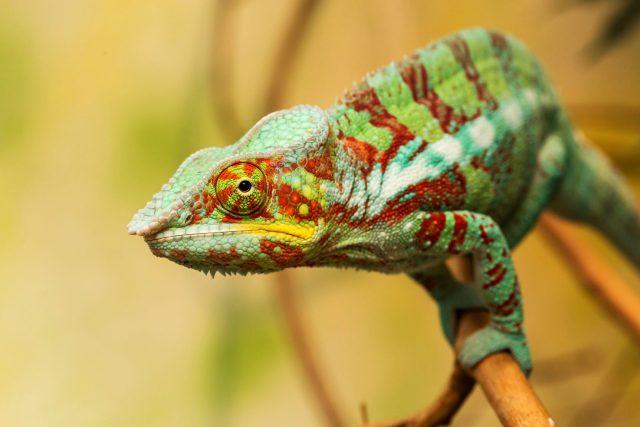 Chameleon pardálí | foto: Lukáš Pavlačík,  Český rozhlas