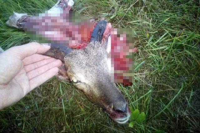 Světově unikátní populace muflonů na Broumovsku se stává snadným cílem vlků