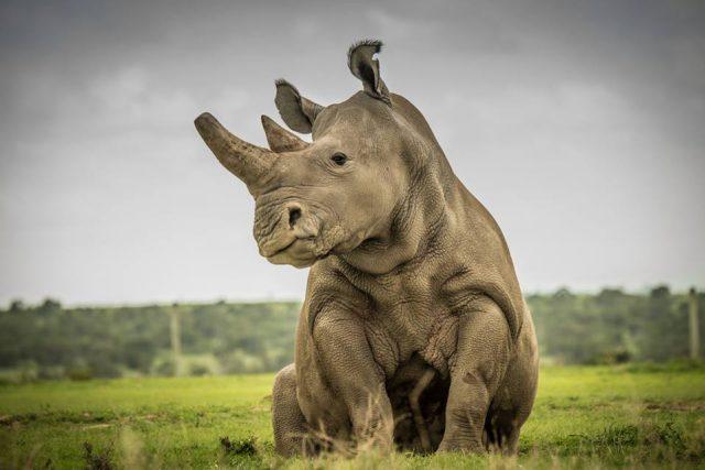 Fatu, jedna ze dvou posledních samic nosorožce bílého severního