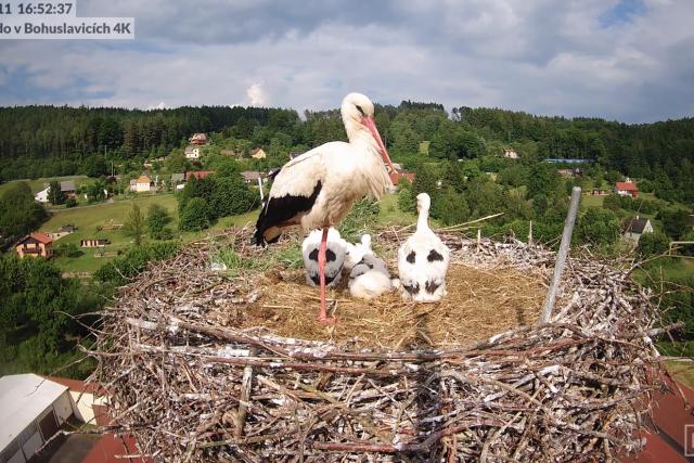 Hnízdo čápů na komíně v Bohuslavicích na Trutnovsku | foto: Pavla Kindernayová,  Čapí hnízdo v Bohuslavicích