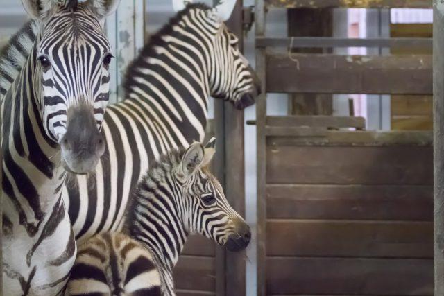 Zebra Böhmova Poly porodila v Safari Parku Dvůr Králové mládě