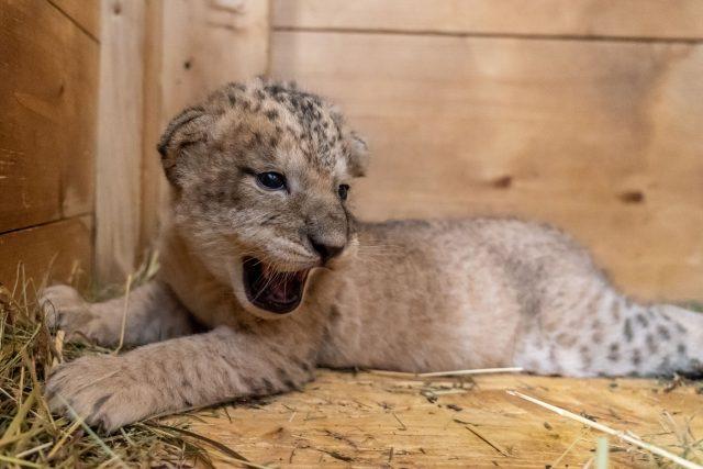 Preventivní prohlídka lvíčat v Safari Parku Dvůr Králové nad Labem