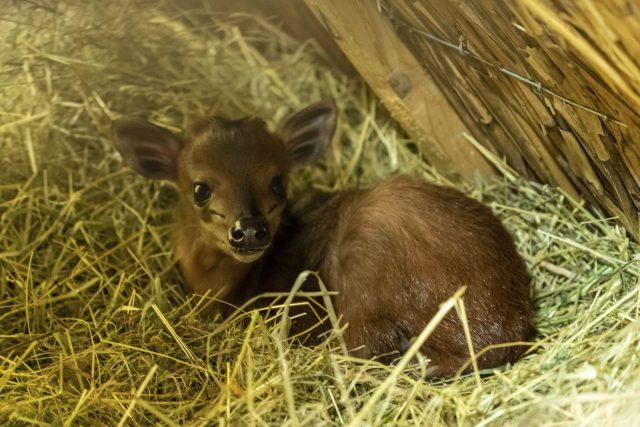 Mládě chocholatky červené, nejmenší antilopy na planetě, se po letech čekání narodilo v Safari Parku Dvůr Králové