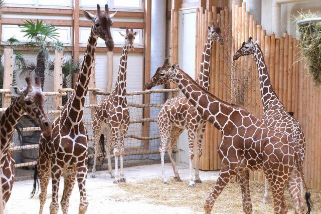 Žirafa síťovaná v Safari Parku Dvůr Králové