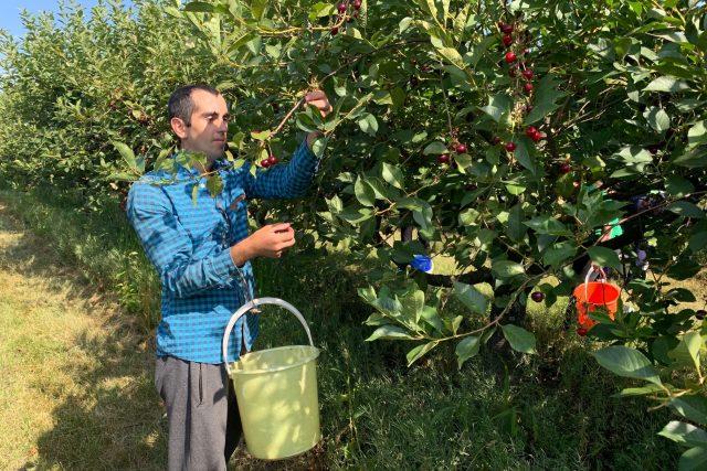 Celkem má družstvo v Dolanech vysázeny višňové stromy na zhruba 25 hektarech | foto: Václav Plecháček,  Český rozhlas
