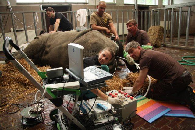 Odběr vajíček jižního bílého nosorožce