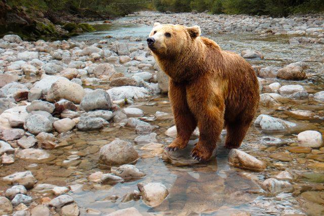 Medvěd je impozantní zvíře