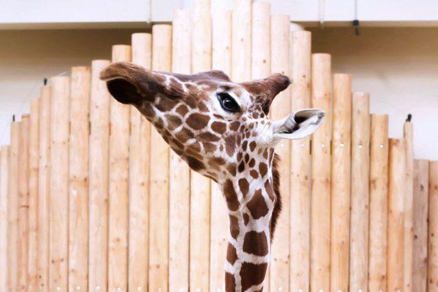 Žirafa síťovaná v Safari Parku Dvůr Králové   foto: Simona Jiřičková