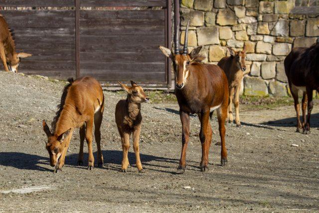 Antilopa vraná v Safari Parku Dvůr Králové